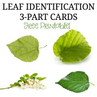Leaf Identification 3-part cards for Montessori Activities